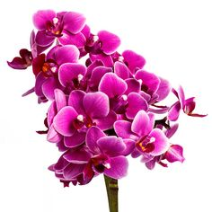 Blooming pink orchid with many flowers on a white background - foto de acervo