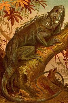 iguana. High quality vintage art reproduction by Buyenlarge. One of many rare and wonderful images brought forward in time. I hope they bring you pleasure each and every time you look at them.