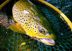 Streamer Tactics for Small Trout Water