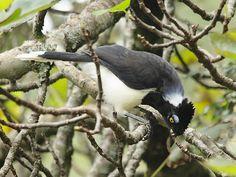 Foto gralha-cancã (Cyanocorax cyanopogon) por Zé Maria   Wiki Aves - A Enciclopédia das Aves do Brasil