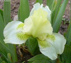 SDB Iris germanica 'Fine Taste' (Nichols, 1974)