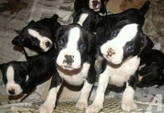 BLACK BOXER PUPPIES | Purebred Boxer Puppies For Sale In Nj