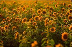 Sonnenblumen Feld - Tanja Riedel