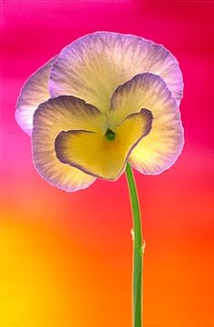 ✯ Viola 0196 .. By Andy Small✯