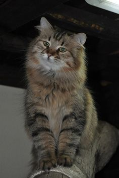 looks like Maine Coon cat. Siberian Forest Cat, Siberian Cat, Kittens And Puppies, Cute Cats And Kittens, Pretty Cats, Beautiful Cats, Chat Maine Coon, Jellicle Cats, Rare Cats