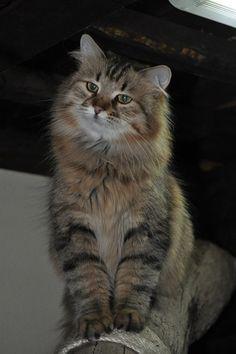siberian cat...looks like Maine Coon cat...
