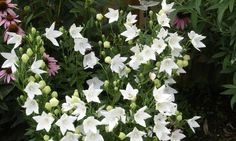 image of platycodon 'Fuji White' Name Balloons, White Balloons, Porch Garden, Balloon Flowers, Flowers Perennials, Flower Seeds, Fuji, Plants, Gardens
