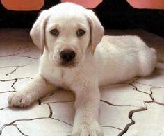 Cute labrador retriever puppy wallpaper