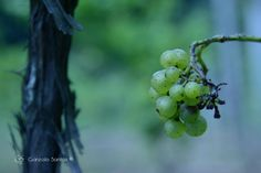 Grapes in late August looking forward to the harvest in a few short weeks. © Gonzalo Santos 2013