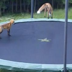 Due volpi giocano, saltano e si divertono su un tappeto elastico rivelando un'abilità inaspettata.