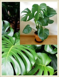 Monstera Deliciosa Plants - very very obsess with this plant right now!