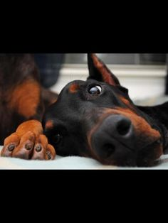 Lovely dobermann. From FB of Sabina (this reminds me of my sweet Ali)