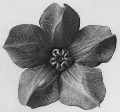 He devoted his entire 30 year career to the close up photographing of plant sections creating engaging images which crossed into the abstract art world. 1929 Original BOTANICAL PLANT Flower By KARL BLOSSFELDT. Karl Blossfeldt, Vintage Photography, Art Photography, Ivy Plants, Natural Forms, Natural Structures, Antique Prints, Botanical Art, Botanical Drawings