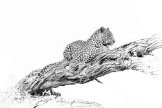 black and white print of a leopard resting in a tree