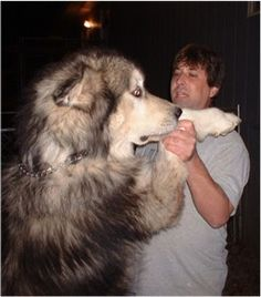 Giant Alaskan Malamute OMG I WANT THAT DOG!!!!!