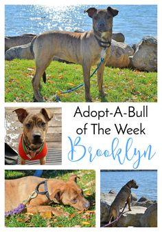 Adopt-A-Bull of The Week – Brooklyn in New York, Part 2 | http://www.thelazypitbull.com/adopt-a-bull-brooklyn-new-york-2/