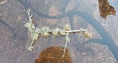 Live Florida Lichen-Terrarium,Reptile&Amphibian Cage,Collectors Specimens,Spec.6