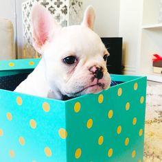 Marc, the French Bulldog, https://instagram.com/p/yx9K6bRJDZ/?taken-by=marcthefrenchie