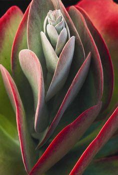 Kalanchoe thyrsiflora: Flapjack -- a succulent plant