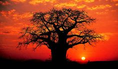 I love baobab images, would make a lovely colour tattoo