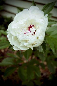 white peony in garden by *LauraE1950 on deviantART