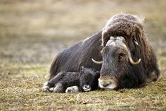 Musk Ox Calf with his Mother by © National Geographic Stock, posted via acuteaday.com