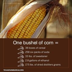 Its all ears. And those ears of grain do more than feed livestock. Check it out Agriculture Facts, Raising Cattle, Farms Living, Good To Know, Grains, Livestock, Texas Farm, Ears, Check