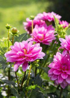 Ihanat kesäkukat: näin onnistuu kylvö ja hoito   Meillä kotona Plants, Beautiful Gardens, Plant, Planets