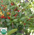 Hirts: Seed; Vegetable Organic Rooster Spur Pepper - 25 Seeds