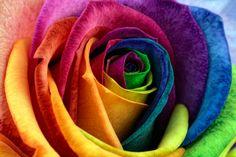 Rainbow Rose By Mark Johnson