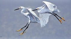 Alan M. Hunt - Pair of Egrets (Oil on Masonite Board)