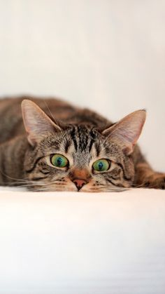 """( Tabby Cat, surprise, lie. ) * * BROWN TABBY: """" Nobody lyin' heres but meez. Actually, I be ' layin' ."""""""