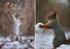 Der talentierte russische Naturfotograf Vadim Trunov hatte zuvor jene Begegnungen mit Eichhörnchen gemacht, aber das ist das erste Mal, dass wir seine Fotos von den spielenden Eichhörnchen sehen. Der Fotograf veröffentlichte vor kurzem einige seiner Fotos, die er knippste von den Volleyball...
