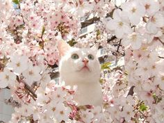 white cat and cherry blossom Cool Cats, I Love Cats, Crazy Cats, Pretty Cats, Beautiful Cats, Pretty Kitty, Simply Beautiful, Gatos Cool, Photo Chat