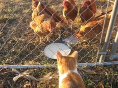"BarnCat is ""guarding"" our Little Red Hens."