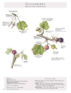 Gooseberry (Ribes uva-crispa) To help with ID and harvest here is the Gooseberry identification page from Foraging & Feasting: A Field Guide and Wild Food Cookbook by Dina Falconi; illustrated by Wendy Hollender