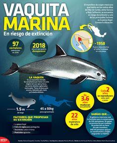 La vaquita marina, mamífero de origen mexicano que habita en las costas altas del Mar de Cortés, se encuentra en peligro de extinción y uno de los principales factores es la pesca ilegal. Conoce la situación. #Infographic