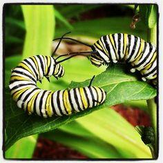 Fighting caterpillars!