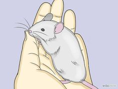 How to Take Care of a Pet Mouse - entweder nur 1Männchen od. mehrere Weibchen?