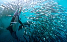 Hungry sharks, dolphins, gannets and even a whale take part in a mass feast on a…