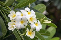 Stáhnout - Plumeria voňavé rostliny tropického stromu z rodu, který zahrnuje keře — Stock obrázek Bloom, Tropical, Stock Photos, Plants, Plant, Planets