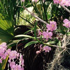Florecieron de nuevo en el Arbol de mi patio mis Demdrobiums
