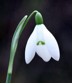 snowdrop flower - Google Search