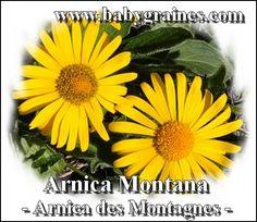 Arnica Montana , Arnica des montagnes