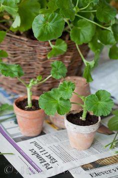 Ta pelargonsticklingar Shade Garden Plants, Indoor Plants, Water Garden, Garden Inspiration, Houseplants, Bonsai, Gardening Tips, Outdoor Gardens, Planting Flowers