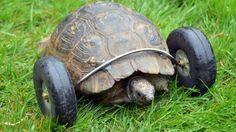 Strong tortoise
