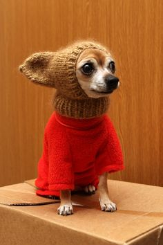Chihuahua in lovely costume Tiny Puppies, Cute Puppies, Cute Dogs, Chihuahua Love, Chihuahua Puppies, Chihuahuas, Little Dogs, Pet Costumes, Dog Sweaters