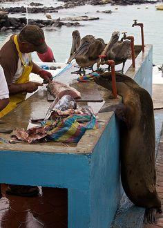 Santa Cruz, Galapagos Islands, A Sea Lion and Brown Pelicans eyeball fish at the fish market