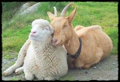 Tenderness between animals. - Such a cute sheep and goat ツ