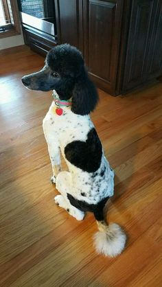 🖤 standard poodle 🖤 & Source by mayapicturefeast The post 🖤 standard poodle 🖤 & appeared first on Stubbs Training. Baby Puppies, Dogs And Puppies, Cute Puppies, Doggies, I Love Dogs, Cute Dogs, Animals And Pets, Cute Animals, Poodle Cuts